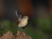 やっぱり!ニシオジロビタキは可愛いですね!MCK - シエロの野鳥観察記録