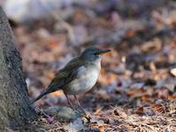 ルリビタキを捜してたら!シロハラが出て来ました!FJM - シエロの野鳥観察記録