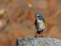 ジモティ曰く!今年はルリの当たり年だな・・!FJM - シエロの野鳥観察記録
