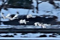 みちのく白鳥たち6 - みちのくの大自然