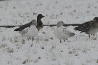 雪が降り.....ハクガンヒシクイ - 新  鳥さんと遊ぼうⅡ