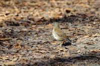 シロハラ(白腹) - azure 自然散策 ~自然・季節・野鳥~