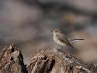 東屋の周りを飛び回るニシオジロビタキMCK - シエロの野鳥観察記録