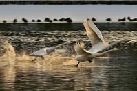 みちのく白鳥たち7 - みちのくの大自然