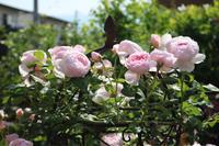 セプタードアイルの誘引 - my small garden~sugar plum~