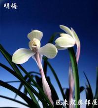 中国春蘭「明梅」No.2074 - 東洋蘭風来記奥部屋