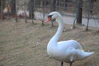 1羽で寂しくないの白鳥 - 平凡な日々の中で