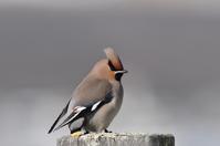 湖畔の....キレンジャク - 新  鳥さんと遊ぼうⅡ