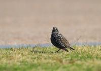 ホシムクドリ - 野鳥の視線