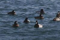 漁港の海ガモ達①スズガモとウミアイサ - 今日の鳥さんⅡ