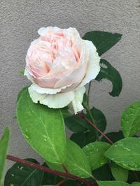 旋律やらゆうぜんやらは我が家ではまとめて咲かない - バラやらナンやら