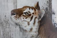 2020.12.20 東北サファリパーク☆ゴールデンタビータイガーのステラちゃん【Golden tabby tiger】 - 青空に浮かぶ月を眺めながら