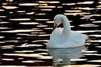 みちのく白鳥たち8 - みちのくの大自然