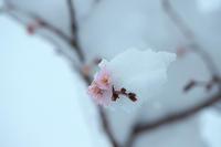 雪桜 - 但馬・写真日和