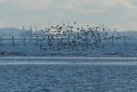 三番瀬の鳥たち(12月) - そらいろのパレット