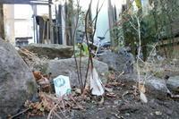 シモバシラに氷の花 - 小さな庭のひだまりで