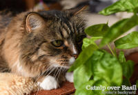 猫にはバジルよりキャットニップ - Kyoko's Backyard ~アメリカで田舎暮らし~