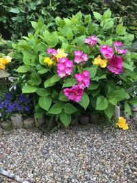 フリージアが咲いて10日後に咲く早咲きのバラ - バラやらナンやら