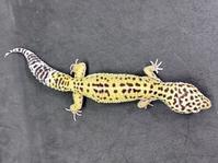 レオパ・マキュラリウス ♀ Geckos Etc - アクアマイティー最新入荷情報BLOG