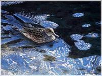 最高気温が18.3℃春のような1日川の冬水鳥スナップ2021/1/16 Tokyo - むっちゃんの花鳥風月  ( 鳥・猫・花・空・山 )