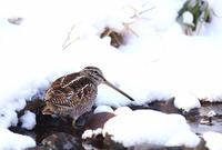 アオシギ - 北の野鳥たち