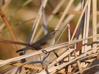 超!ハードなムジセッカNGO - シエロの野鳥観察記録