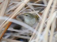 ムジセッカの隣に居た!ウグイス紛らわしい!!NGO - シエロの野鳥観察記録
