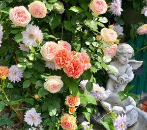バラの用土替え?〝カフェラテ〟と〝カフェ〟 - 薪割りマコのバラの庭