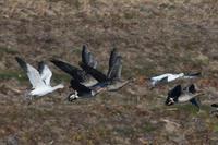 飛翔....ハクガンヒシクイ Ⅳ - 新  鳥さんと遊ぼうⅡ