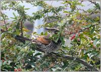 ピラカンサ大好きツグミ - 野鳥の素顔 <野鳥と日々の出来事>