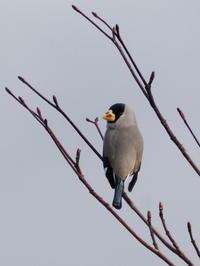 枝先に止まったイカル - コーヒー党の野鳥と自然パート3