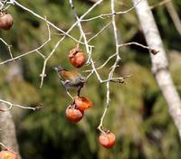 北摂山間の山柿にシロハラが良く来る・・・ - 一期一会の野鳥たち
