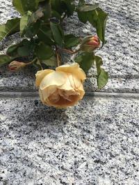 今まだ綺麗に咲いているバラと咲きかけのバラ - バラやらナンやら