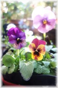 あたたかかったのでお花を連れて帰りました - おだやかに たのしく Que Sera Sera