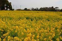 伊良湖へ菜の花を見に行きました。今年もよろしくお願いします。 - エブリーのひとり言