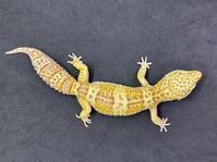 レオパ・レインウォーターアルビノ ♀ Geckos Etc - アクアマイティー最新入荷情報BLOG