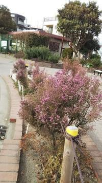 エリカの季節です。 - 台町公園ブログ