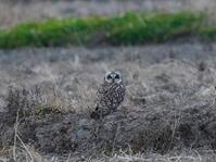 日没後に見つけたコミミズクSDB - シエロの野鳥観察記録