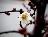 梅の花 - HAIKU/ winter PHOTO