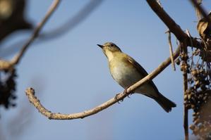 ベニマシコなど - 川の鳥見日記3