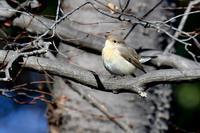 ニシオジロビタキ ~とにかくかわいいっ!~ - 小鳥の瞳に恋してる