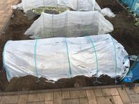 ニンジンのトンネル栽培に挑戦 - ワクワク♪ハマっ子野菜作り♪