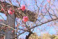 梅が咲き始めました - オーチャードストリート 日々のこと