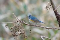2021-012 食事中のルリビタキ - 近隣の野鳥を探して2