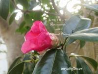 赤い侘助をコーヒーカップに・・・ - 風と花を紡いで