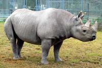 日本生まれのクロサイ、トシが米マイアミ動物園で死亡 - ごきげんよう 犀たち