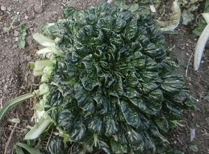 傷んだ水菜とタアサイを再生 - ブルーベリーの育て方& 栽培 ブルーベリー ノート BlueBerryNote