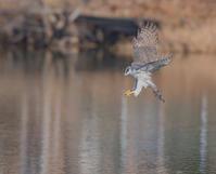 オオタカの狩り - コロンさんの野鳥ブログ