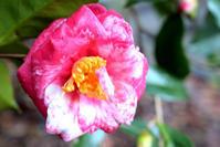 松山総合公園 椿園20 - かたくち鰯の写真日記2