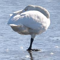 眠れる森の美女・・じゃなくて、眠れる沼の白鳥(多々良沼公園) - 旅プラスの日記